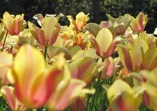 Κίτρινες τουλίπες με τις πορτοκαλιές, ρόδινες εμφάσεις στον ήλιο στοκ εικόνα