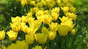 Κίτρινες τουλίπες στον κήπο απόθεμα βίντεο