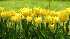 Κίτρινες τουλίπες στον κήπο φιλμ μικρού μήκους