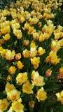 Κίτρινες τουλίπες την άνοιξη Στοκ φωτογραφία με δικαίωμα ελεύθερης χρήσης