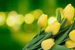 Κίτρινες τουλίπες ενάντια στις λευκές κίτρινες νεολαίες άνοιξη λουλουδιών έννοιας ανασκόπησης Στοκ εικόνες με δικαίωμα ελεύθερης χρήσης