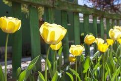Κίτρινες τουλίπες και πράσινος φράκτης Στοκ Φωτογραφία