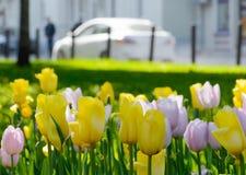 Κίτρινες τουλίπες μετά από τη βροχή σε μια λεωφόρο πόλεων με τα αυτοκίνητα μια ημέρα άνοιξη Στοκ φωτογραφία με δικαίωμα ελεύθερης χρήσης