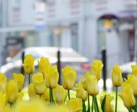 Κίτρινες τουλίπες μετά από τη βροχή σε μια λεωφόρο πόλεων με τα αυτοκίνητα μια ημέρα άνοιξη Στοκ Εικόνες