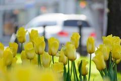 Κίτρινες τουλίπες μετά από τη βροχή σε μια λεωφόρο πόλεων με τα αυτοκίνητα μια ημέρα άνοιξη Στοκ Εικόνα