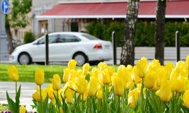 Κίτρινες τουλίπες μετά από τη βροχή σε μια λεωφόρο πόλεων με τα αυτοκίνητα και τον καφέ οδών μια ημέρα άνοιξη Στοκ εικόνα με δικαίωμα ελεύθερης χρήσης