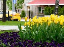 Κίτρινες τουλίπες μετά από τη βροχή σε μια λεωφόρο πόλεων με τον καφέ οδών μια ημέρα άνοιξη Στοκ φωτογραφία με δικαίωμα ελεύθερης χρήσης