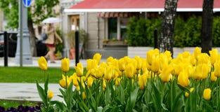 Κίτρινες τουλίπες μετά από τη βροχή σε μια λεωφόρο πόλεων μια ημέρα άνοιξη Στοκ φωτογραφία με δικαίωμα ελεύθερης χρήσης