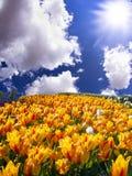 Κίτρινες τουλίπες στον ήλιο Στοκ φωτογραφίες με δικαίωμα ελεύθερης χρήσης