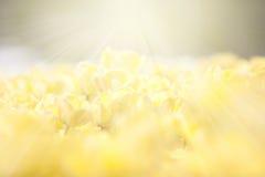 Κίτρινες τουλίπες στον τομέα με τις ακτίνες ήλιων ανωτέρω Στοκ φωτογραφίες με δικαίωμα ελεύθερης χρήσης