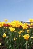 Κίτρινες τουλίπες Στοκ εικόνες με δικαίωμα ελεύθερης χρήσης