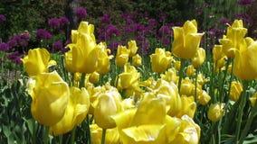 Κίτρινες τουλίπες φιλμ μικρού μήκους