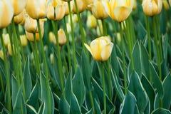 Κίτρινες τουλίπες Στοκ Εικόνες