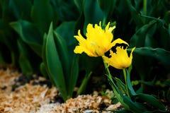 Κίτρινες τουλίπες Στοκ Εικόνα