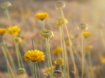 Κίτρινη άγρια πυράκτωση λουλουδιών στον ήλιο απογεύματος Στοκ Φωτογραφίες