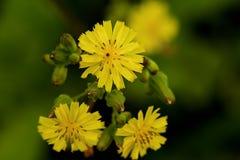 Κίτρινη άγρια υδρονέφωση πετάλων λουλουδιών στοκ φωτογραφίες με δικαίωμα ελεύθερης χρήσης