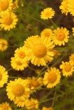 Κίτρινη άγρια chamomile κινηματογράφηση σε πρώτο πλάνο μαργαριτών λουλουδιών στο ξέφωτο στους τομείς στοκ εικόνα