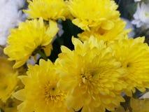 Κίτρινη άνθιση απόλαυσης Στοκ Εικόνες