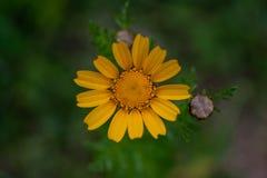Κίτρινη άνθιση λουλουδιών στοκ φωτογραφίες με δικαίωμα ελεύθερης χρήσης