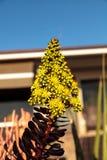 Κίτρινη άνθιση λουλουδιών στο arboreum Aeonium Στοκ εικόνα με δικαίωμα ελεύθερης χρήσης