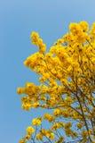 Κίτρινη άνθιση λουλουδιών την άνοιξη Στοκ Εικόνες