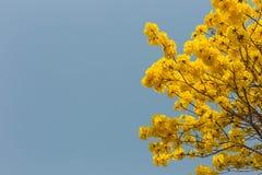 Κίτρινη άνθιση λουλουδιών την άνοιξη Στοκ Φωτογραφίες