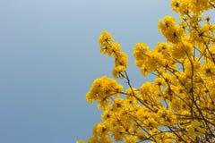 Κίτρινη άνθιση λουλουδιών την άνοιξη Στοκ εικόνα με δικαίωμα ελεύθερης χρήσης