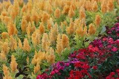 Κίτρινη άνθιση λουλουδιών argentea Celosia Στοκ εικόνες με δικαίωμα ελεύθερης χρήσης