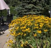 Κίτρινη άνθιση λουλουδιών Rudbeckia στοκ φωτογραφία
