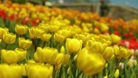 Κίτρινη άνθιση τουλιπών απόθεμα βίντεο