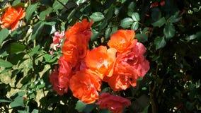 Κίτρινη άνθιση τριαντάφυλλων κήπων απόθεμα βίντεο