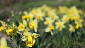 Κίτρινη άνθιση daffodils το καλοκαίρι απόθεμα βίντεο