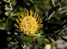Κίτρινη άνθιση protea σε έναν θάμνο Στοκ Εικόνες