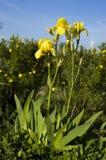 Κίτρινη ίριδα λουλουδιών Στοκ εικόνες με δικαίωμα ελεύθερης χρήσης