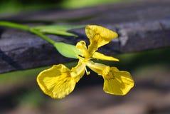 Κίτρινη ίριδα Στοκ Φωτογραφία