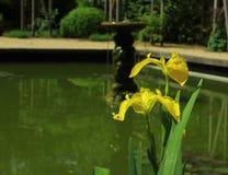 Κίτρινη ίριδα Στοκ εικόνα με δικαίωμα ελεύθερης χρήσης