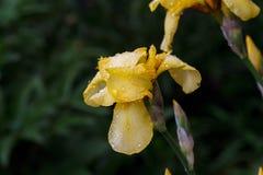 Κίτρινη ίριδα Στοκ φωτογραφία με δικαίωμα ελεύθερης χρήσης