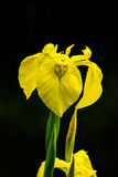 Κίτρινη ίριδα (pseudacorus της Iris) στοκ φωτογραφία με δικαίωμα ελεύθερης χρήσης