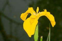 Κίτρινη ίριδα (pseudacorus της Iris) Στοκ φωτογραφίες με δικαίωμα ελεύθερης χρήσης