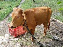 Κίτρινη αγελάδα στοκ φωτογραφία με δικαίωμα ελεύθερης χρήσης