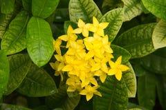 Κίτρινη ακίδα λουλουδιών Στοκ Εικόνες