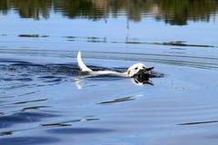 Κίτρινη ανάκτηση κυνηγιού Λαμπραντόρ Στοκ Εικόνες