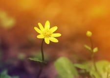 Κίτρινη ανάπτυξη λουλουδιών την πρώιμη άνοιξη στα ξύλα Στοκ Φωτογραφία