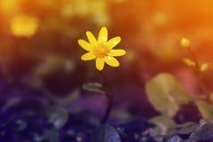 Κίτρινη ανάπτυξη λουλουδιών την πρώιμη άνοιξη στα ξύλα Στοκ εικόνες με δικαίωμα ελεύθερης χρήσης