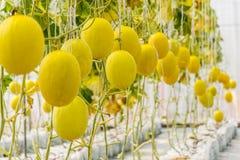 Κίτρινη ανάπτυξη πεπονιών πεπονιών σε ένα θερμοκήπιο Στοκ Φωτογραφία