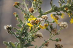 Κίτρινη αποσύνθεση λουλουδιών και πικραλίδων Στοκ Εικόνες