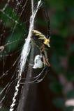 Κίτρινη αράχνη κήπων στον Ιστό της με το θήραμα Στοκ Εικόνες