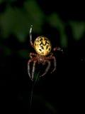 Κίτρινη αράχνη κήπων τη νύχτα Στοκ εικόνες με δικαίωμα ελεύθερης χρήσης