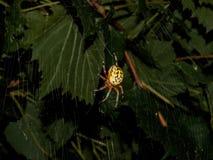 Κίτρινη αράχνη κήπων τη νύχτα Στοκ Φωτογραφίες