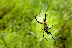 Κίτρινη αράχνη κήπων Στοκ φωτογραφία με δικαίωμα ελεύθερης χρήσης